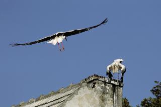 Przylot (pierwszego i drugiego ptaka z pary)