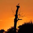 Noc spędzają bociany w miejscach bezpiecznych, wysoko nad ziemią. Przynajmniej jedno z rodziców nocuje na gnieździe.  (foto P. Szymoński)