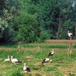 O bocianich sejmikach słyszał chyba każdy. Przed odlotem ptaki zbierają się, często w tych samych od lat miejscach, wspólnie żerują, wzbijają się czasem wysoko w niebo i lądują na powrót, klekocąc o czymś zawzięcie, jak gdyby naradzały się przed podróżą. (foto P. Szymoński)