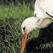 Bocian biały potrafi być bardzo cierpliwym myśliwym. Czatowanie na upatrzoną zdobycz to jedna z jego ulubionych metod polowania na gryzonie. Bardzo długo potrafi czaić się nad kretowiskiem czy mysią norą. (foto P. Szymoński)