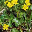 Knieć błotna, zwana popularnie kaczeńcem, to bodaj najbardziej znana roślina żyznych, podmokłych łąk. Kwitnące wiosną kaczeńce są dowodem na to, że w tym miejscu bocianom i innym mieszkańcom łąki na razie jeszcze wiedzie się dobrze. (foto P. Szymoński)