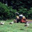 Prace polowe są dla bocianów niewątpliwą okazją do łatwego zdobycia pokarmu. Ptaki z daleka rozpoznają pracujące w polu maszyny rolnicze i zlatują się czasem z całej okolicy. (foto P. Szymoński)
