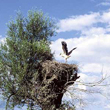 Dość liczne jeszcze u nas głowiaste wierzby mogą być atrakcyjnym miejscem do założenia gniazda. Warunkiem jest jednak ich regularne ogławianie, gdyż szybko odrastające gałęzie już po 2-3 latach uniemożliwiają dolot i powodują opuszczenie gniazda.ce gałęzie wierzbowe już po 2-3 latach uniemożliwiają dolot i powodują opuszczenie gniazda. (foto P. Szymoński)