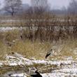 Niespodziewane nawroty zimy mogą stać się dla bocianów nie lada problemem. Nie tyle niskie temperatury, co związany z nimi brak pokarmu jest dużym zagrożeniem dla często osłabionych jeszcze daleką podróżą ptaków. ((foto P. Szymoński))