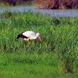 Przeszukiwanie porośniętych szuwarem płycizn to typowy i, ze względu na bogactwo świata zwierzęcego w tego typu biotopach, bardzo efektywny sposób zdobywania pokarmu. (foto P. Szymoński)