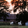 Te młode bociany były niestety zmuszone przedwcześnie opuścić rodzinne gniazdo umieszczone na słupie energetycznym. Zanim uzyskały pełną samodzielność, gniazdo spadło na ziemię. Na szczęście częściowo lotne bocianki przeżyły upadek i były regularnie karmione przez rodziców na pobliskiej stercie siana. (foto P. Szymoński)