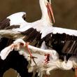 Walczące o gniazdo bociany to dość często obserwowany obrazek. Najczęściej kończy się co prawda na powietrznych zapasach i przepychankach, ale znane są też wypadki okaleczenia lub nawet śmierci któregoś z ptaków.  (foto P. Szymoński)