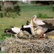 O liczbie odchowanych młodych decyduje ilość pokarmu, jaki można znaleźć w pobliżu gniazda. Niebagatelną rolę, zwłaszcza w okresie tuż po wylęgu piskląt, odgrywa także pogoda. Na przykład deszczowy i zimny maj może spowodować duże straty w lęgach. (foto P. Szymoński)