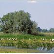 Na zasobnych w pokarm i rozległych terenach dolin rzecznych można przez całą wiosnę i lato spotkać koczujące duże grupy bocianów, które w danym roku nie przystąpiły do lęgów. (foto P. Szymoński)