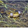 Według tradycji i wierzeń żaby są podstawowym daniem na bocianim stole i chociaż wiele w tym przesady, to na niektórych terenach, zwłaszcza wiosną, mogą być jego najczęstszą zdobyczą. Na zdjęciu żaba wodna. (foto P. Szymoński)
