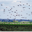 W rezerwacie przyrody Słońsk (obecnie Park Narodowy 'Ujście Warty') stada kilkudziesięciu bocianów są codziennym obrazkiem. Czasami bociany koczują wspólnie z nielęgowymi żurawiami, które również spędzają tutaj lato. (foto P. Szymoński)