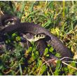 Mieszkaniec terenów wilgotnych, zaskroniec, również chętnie poluje na żaby. Sam jednak także musi uważać, aby nie stać się łakomym kąskiem dla bociana. (foto P. Szymoński)