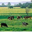 Bociany chętnie trzymają się w pobliżu zwierząt gospodarskich, lecz nie ze względów towarzyskich. Pasące się krowy nieświadomie pełnią rolę nagonki i płosząc w trawie zdobycz, ułatwiają bocianom polowanie. (foto P. Szymoński)