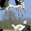 Oba walczące ptaki ptaki próbują lądować na gnieździe, biją skrzydłami, sycząc i klekocąc próbują zadawać sobie ciosy dziobami. (foto P. Szymoński)