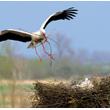 Poprawianie i rozbudowa gniazda rozpoczyna się już z chwilą przylotu pierwszego ptaka i trwa właściwie, co prawda z coraz mniejszą intensywnością, aż do chwili odlotu. 'Moje' bociany już po trzech tygodniach zmieniły platformę lęgową nie do poznania. (foto P. Szymoński)