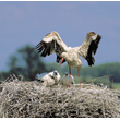 W miarę dorastania piskląt cień rodzicielskich skrzydeł przestaje być wystarczającą osłoną przed słońcem. Dorosłe starają się ulżyć młodym w inny sposób. Zanurzają się w wodzie i po powrocie do gniazda machają skrzydłami, fundując im swoisty prysznic. (foto P. Szymoński)
