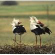 Ceremonia powitania na gnieździe to cały szereg gestów i tanecznych figur wykonywanych przez oba ptaki. Charakterystyczne jest zarzucanie głowy głęboko na plecy połączone z głośnym klekotaniem i ukłonami. (foto P. Szymoński)