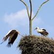 Bocianie gniazdo, regularnie zajmowane i ciągle rozbudowywane, może w sprzyjających okolicznościach osiągnąć po latach olbrzymie rozmiary. To gniazdo na suchej robinii we wsi Tarnowo ma ponad 2 metry wysokości i waży z pewnością ponad 1000 kg. (foto P. Szymoński)
