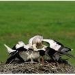 Dopominające się pokarmu pisklęta mogą być bardzo natarczywe. Repertuar ich zachowań jest przy tym bardzo bogaty. Rodzica witają sycząc i kłapiąc dziobami. Następnie obstępują go i kłaniając się, żebrzą o wyplucie pokarmu na dno gniazda. (foto P. Szymoński)