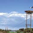 Z dawnej kolonii lęgowej na słupach przy linii kolejowej Gorzów Wlkp. – Sanok pozostało tylko kilka gniazd. Większość ptaków przeniosła się na platformy lęgowe do samego Santoka. (foto P. Szymoński)
