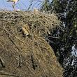 Ten młody bociek z Brzostowa nad Biebrzą pilnie ćwiczy swoją muskulaturę. W konstrukcji gniazda widoczne jest skrzydło martwego pisklęcia z ubiegłorocznego lęgu. Czyżby znowu ofiara nylonowego sznurka? (foto P. Szymoński)